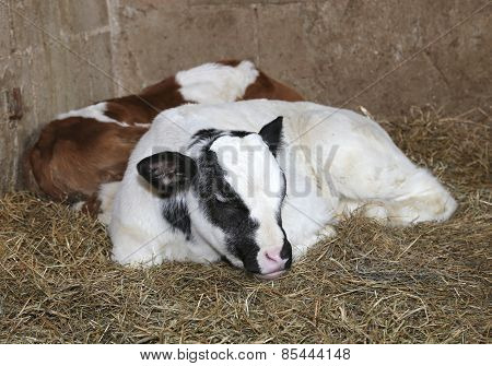 Newborn Calves In The Barn Of The Farm