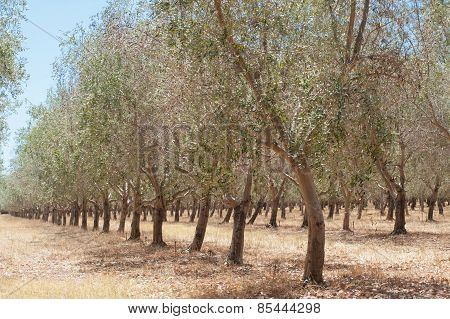 Rows Of Olives