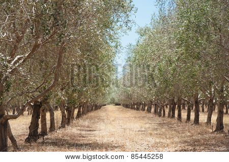 Receding Rows Of Olives