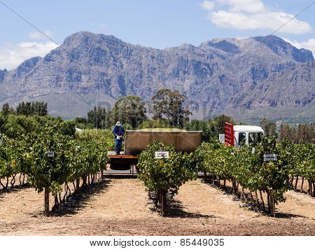 Vineyards in Winelands, Western Cape, South Africa