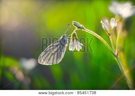 White Butterfly Close Up