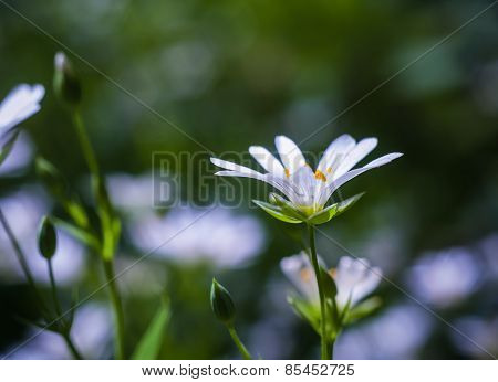 Chickweed Blooming. White Flowers Background