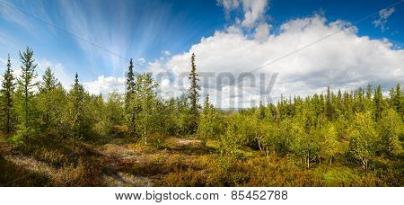 panorama of the northern landscape with birch and spruce