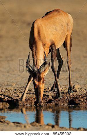 Red hartebeest (Alcelaphus buselaphus) drinking water, Kalahari desert, South Africa