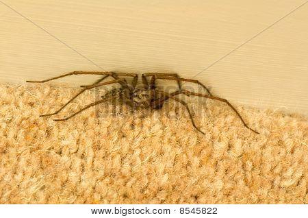 Araña en alfombra