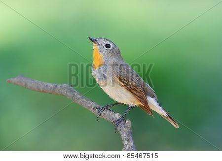 Taiga Flycatcher Ficedula Parva
