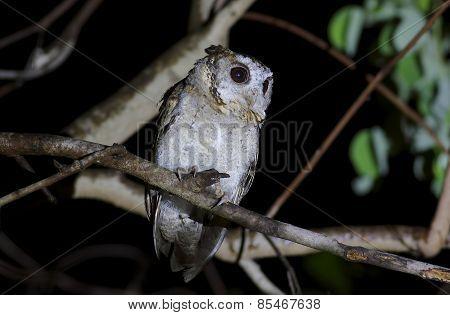 Collared Scops Owl Otus Sagittatus
