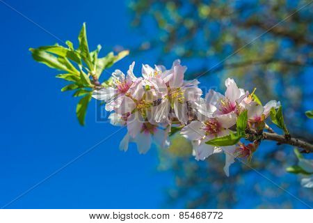 Portugal, Algarve (Europe) - Almond flower blossom in spring (Detail of a tree branch)