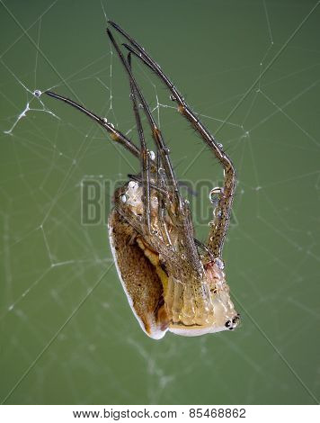 Shedding Argiope Spider
