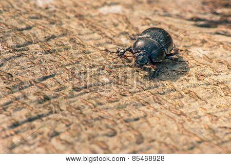 Black Beetle On Wood