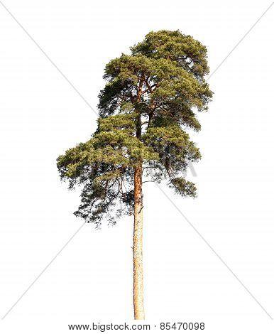 Detailed Photo Of European Pine Tree Isolated On White