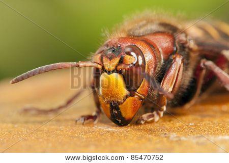 Hornet closeup
