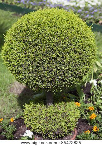 decorative green shrub in shape of ball