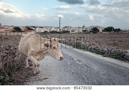 Cow Crossing Sicilian Road