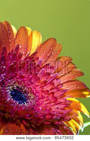 Transvaal daisy flower in rain drops