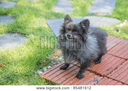 Angry Old Pomeranian At The Park