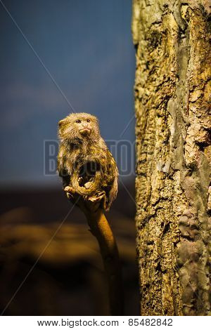 The pygmy marmoset (Cebuella pygmaea)
