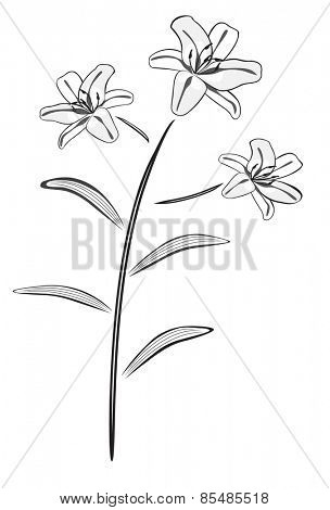 Black and white lily drawing illustration.