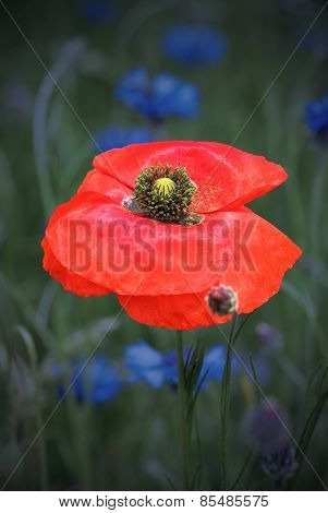 One Red Poppy Flower In The Moonlight