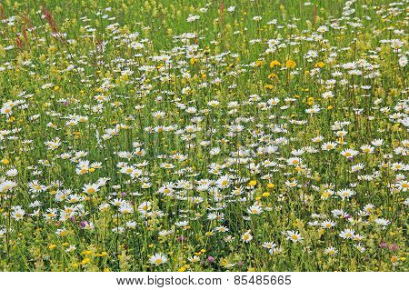 Meadow With Various Wildflowers