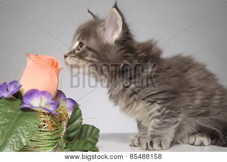 Cute Maine Coon kitten