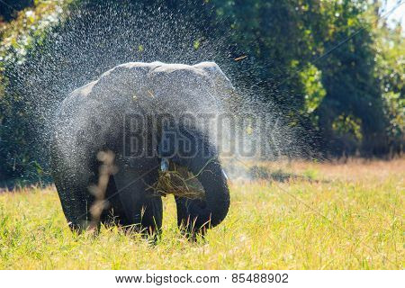 Isolated Elephant spraying water in South Luangwa