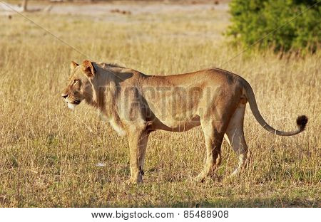 Isolated Lion on standing on the plains in Hwange national park