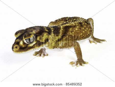 Smooth Knob Tail Gecko