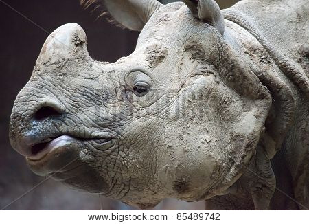Indian Or Java Rhinoceros Face Close Up