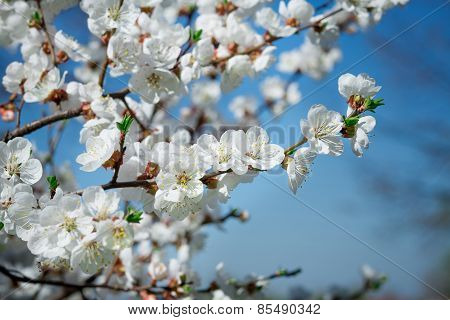 Branches of a blossoming tree with white flowers