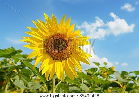 Blooming sunflower plantation and blue sky