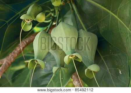 Fruits Barringtonia (barringtonia Asiatica)