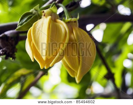 Ylang-ylang Flowers On Tree, Asian