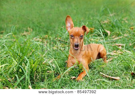 Funny Puppy Of Miniature Pinscher And Pooch Playing On Green Grass In Yard