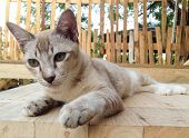 picture of siamese  - Brown Siamese cat sitting on the wooden table - JPG