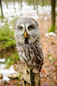 pic of northern hemisphere  - Great grey owl in the winter forest - JPG