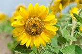 stock photo of sunflower  - Bright yellow sunflower in the sunflower field