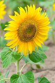 picture of hayfield  - Bright yellow sunflower in the sunflower field