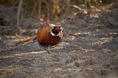 foto of pheasant  - Pheasant walking on the ground day in the sunny early spring day in Finland - JPG