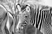stock photo of herbivore animal  - Closeup of a zebra in black and white - JPG