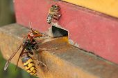 picture of hornets  - Hornet trying to enter in to the honeybee hive