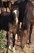 picture of colt  - a young bay colt with a white blaze eating hay with his mother - JPG