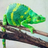 pic of chameleon  - Beautiful and exotic green and yellow striped chameleon on a branch - JPG