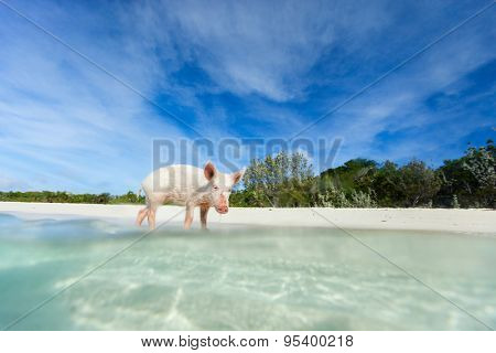 Little piglet in a water at beach on Exuma island Bahamas