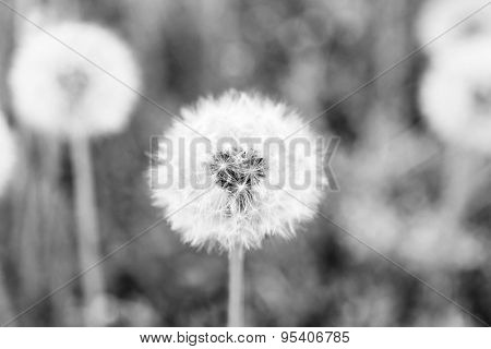 Beautiful dandelions with seeds, close-up