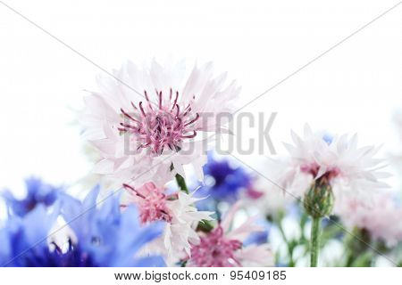 Beautiful small cornflowers isolated on white