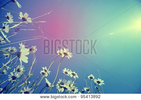 Retro photo of beautiful white daisies and blue sky