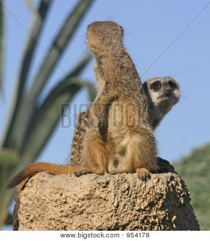 Meerkats Or Suricates