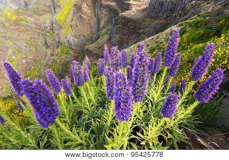 Pride of Madeira - Echium Fastuosum, Pico do Arieiro, Portugal, Europe
