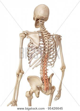 medical accurate illustration of the multifidus